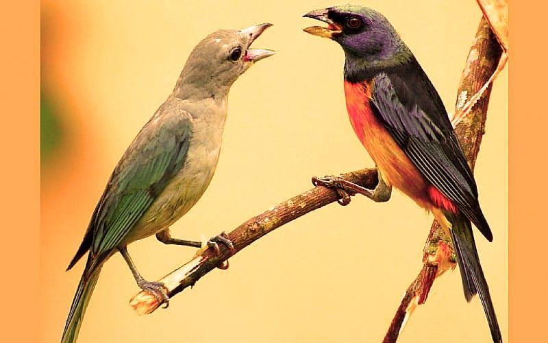 Canto de los pájaros
