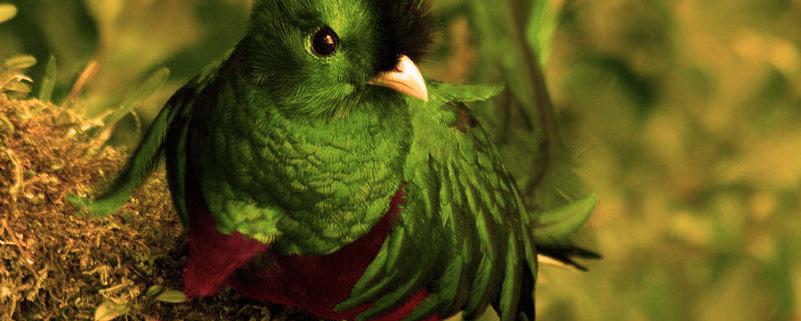 Quetzal en peligro de extinción