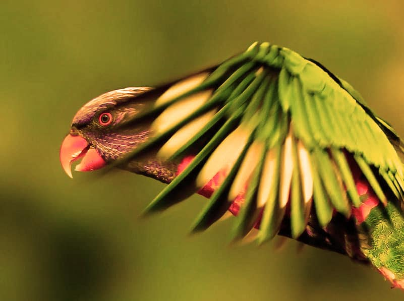Loro Arcoiris pájaro exótico