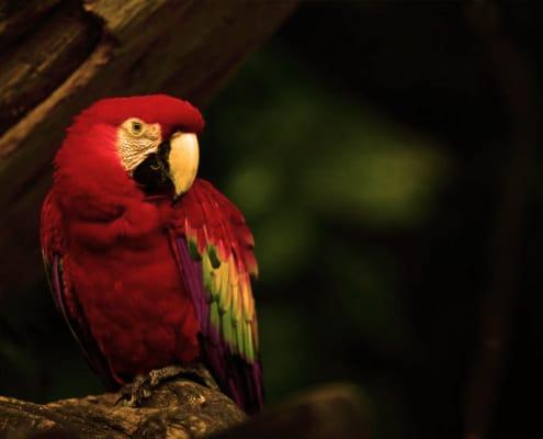 La guacamaya es un pajaro de latinoamerica