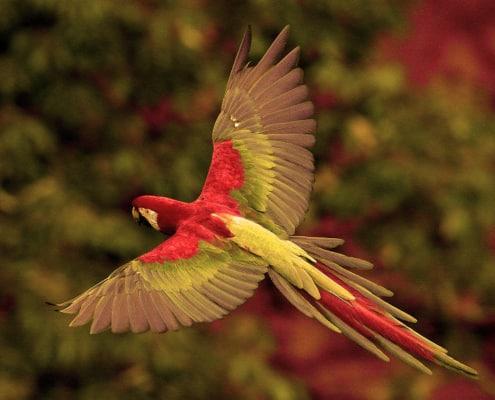 La guacamayo es un ave exotica de latinoamerica