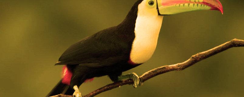 tucan es otra ave exotica