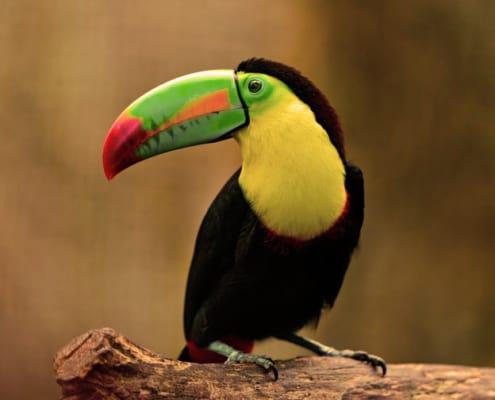 tucan es un ave exotica