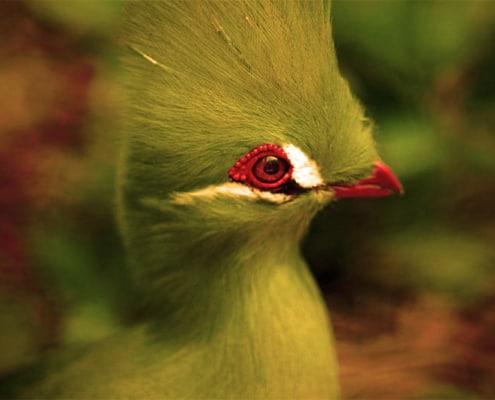 turaco es un ave exotica