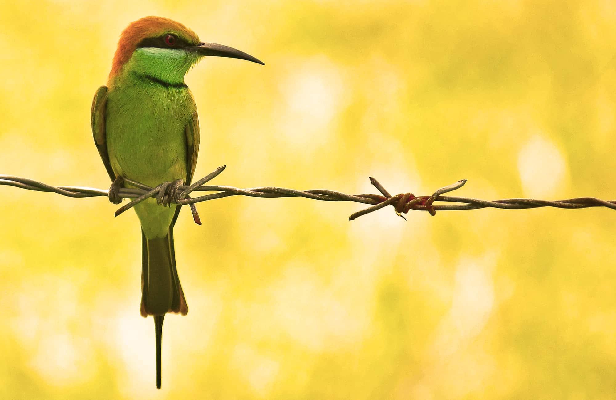 Abejaruco Verde de la India