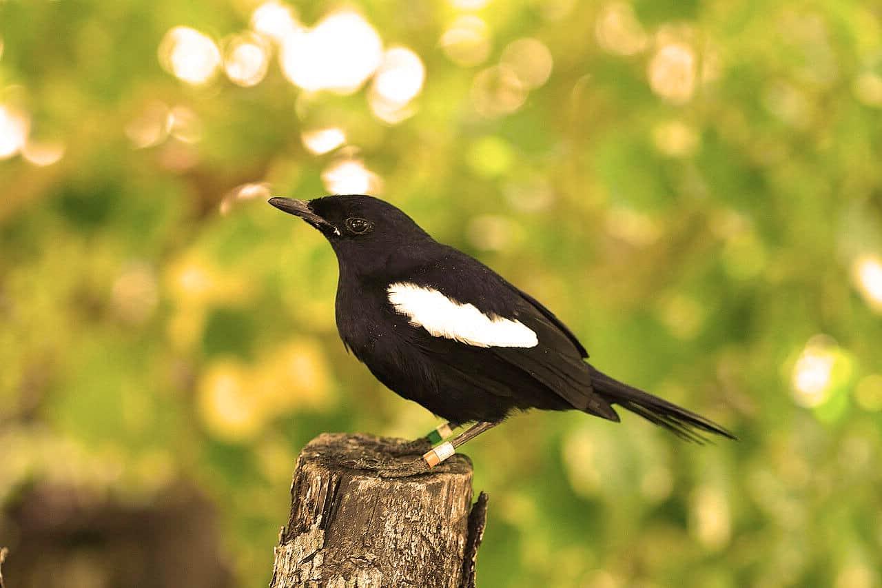 Urraca de Seychelles Robin